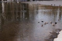 Änder och fåglar som simmar i en sjö som frysas med ett iskallt frostigt vatten - Frankrike Arkivfoton