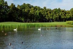 Änder och svanar simmar i dammet royaltyfria bilder