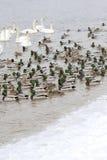 Änder och swans Fotografering för Bildbyråer