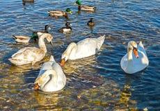 Änder och swans Royaltyfri Bild