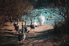 Änder och swans royaltyfria foton