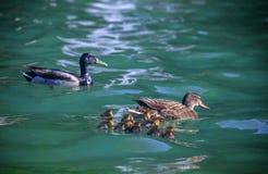 Änder och vatten med fågelungar Arkivbilder