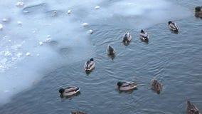 Änder på isen i vinter arkivfilmer