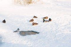 Änder på snö Arkivbild