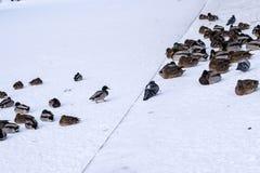 Änder på snön Arkivfoton