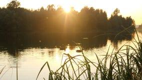 Änder simmar i dammet Härligt parkera naturen med lösa fåglar Härlig solnedgång nära vattnet 4K arkivfilmer