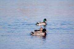 Änder simning i vatten royaltyfria foton