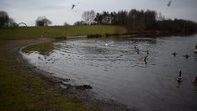 Änder som landar på sjön stock video