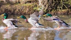Änder som landar på vatten i följd Djupfryst rörelse Royaltyfri Bild