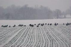 Änder som marscherar i en linje över en snö, täckte fältet på en snöig vinterdag Arkivfoto