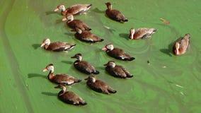 Änder som simmar grönt vatten för n Royaltyfria Bilder