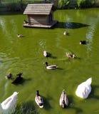 Änder som simmar i dammet på en solig dag arkivfoto