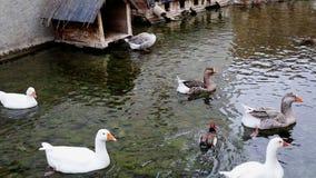 Änder som simmar i en sjö arkivfilmer