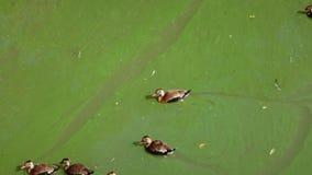 Änder som simmar i grönt vatten Arkivfoton