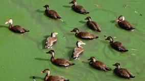 Änder som simmar i grönt vatten Arkivfoto