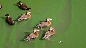 Änder som simmar i grönt vatten Royaltyfri Bild