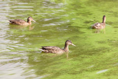 Änder som simmar i grönt vatten Arkivbilder