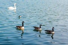 Änder som simmar i härligt vatten Royaltyfria Bilder
