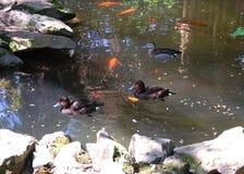 Änder som simmar i sjön Arkivfoto
