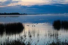 Änder som simmar som morgonmist, stiger av en sjö Fotografering för Bildbyråer