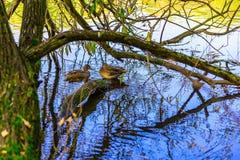 Änder som simmar nära träd i vatten Arkivbilder