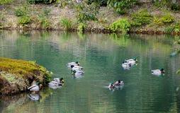 Änder som simmar på dammet Royaltyfri Fotografi