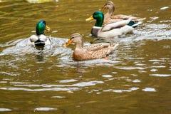 Änder som simmar på sjön Arkivfoton