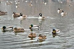 Änder som simmar på snöig dag Fotografering för Bildbyråer