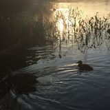 Änder som simmar på solnedgången royaltyfria foton