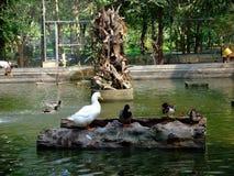 Änder som står på timret som svävar i zoo damm Royaltyfri Foto