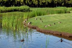 Änder som svävar i vattnet och sitter på det gröna gräset arkivbild