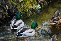 Änder som svävar på floden Fotografering för Bildbyråer