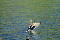 Änder som viftar med deras vingar i vatten Royaltyfria Bilder