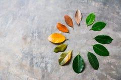 Ändern Sie Jahreszeitkonzept-Grünblätter, um Blätter zu trocknen stockfotos