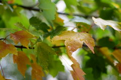 Ändernde Farben des grünen Ahornbaums von Grünem zum Gelb Lizenzfreie Stockfotos