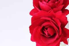 Ändlös skönhet - röda rosor för dig - tätt upp på vitt royaltyfria foton