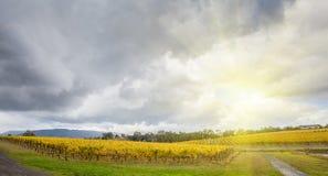 Ändlösa rader av vinrankor på vingården i den Yarra dalen, Australien in Arkivfoto