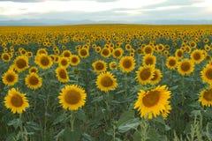 Ändlöst fält av solrosor Arkivfoto