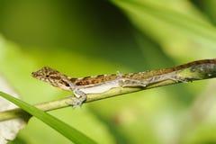Ändrande hud för ödla, Costa Rica Royaltyfri Fotografi