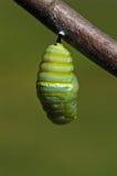 ändrande monark för caterpillar Royaltyfri Bild