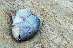 Ändring av död för temperatur för väderhavändring av den ekologiska katastrofen för fisk, sandiga skarpa farliga tänder för huvud royaltyfria bilder