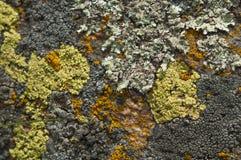 Ängörtguling blommar helichrysumen fotografering för bildbyråer