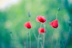 Äng av att blomma röda vallmo med bokehbakgrund Arkivfoton