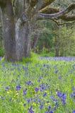 Äng av blåa Camas vildblommor med ekskogen Royaltyfria Bilder