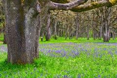Äng av blåa Camas vildblommor med ekskogen Royaltyfria Foton