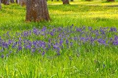 Äng av blåa Camas vildblommor med gula smörblommor Fotografering för Bildbyråer