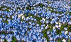 Äng av blåa och vita krokusblommor Arkivfoton