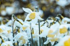 Äng av den härliga påskliljapingstliljan Royaltyfri Foto