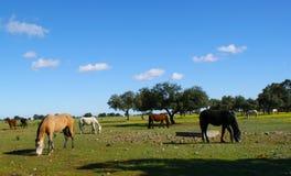 Äng av ekar med hästar Fotografering för Bildbyråer