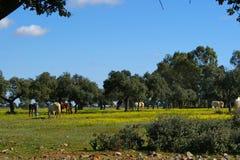 Äng av ekar med hästar Royaltyfri Fotografi